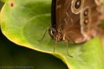 Butterfly @ the Orchideeën Hoeve