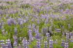 Purple Flower Iceland: Lupine
